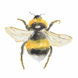 Fototapety Isolated watercolor bee on white background. Dangerous insect.