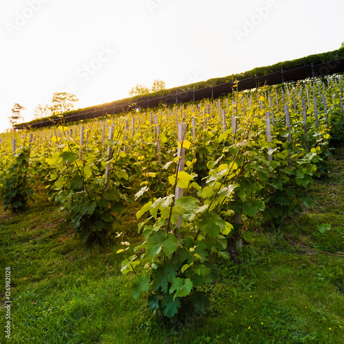 The vineyards on the hillside in the glow of the evening sun. Nature background with Vineyard in the foreground. Wine concept © LALSSTOCK