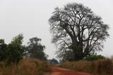 Baobab et chemin en latérite. Togo.