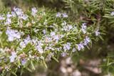 rosmarino fiorito 2