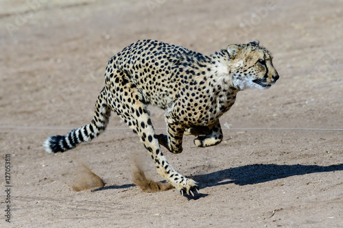 Poster Cheetah at full tilt