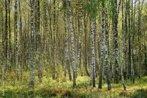 Birch forest. Birch Grove.