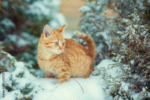 Poster Cute kitten walking in snowy forest
