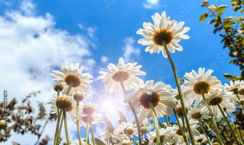 Foto op Canvas Madeliefjes white daisies on blue sky background under shining sunlight. close up. small depth of field