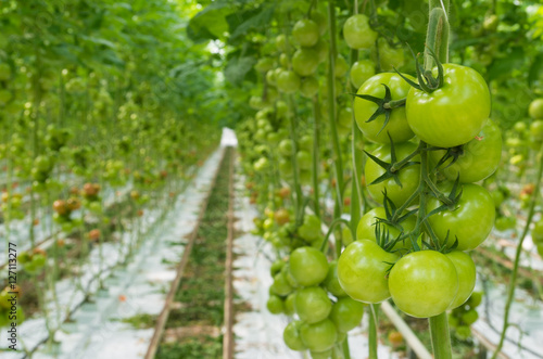 Poster tomatoes in a greenhouse