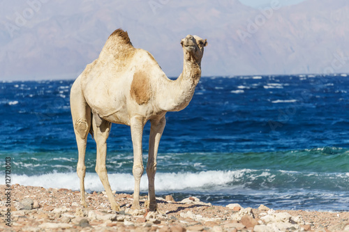 Poster Desert landscape with camel next to Red Sea.