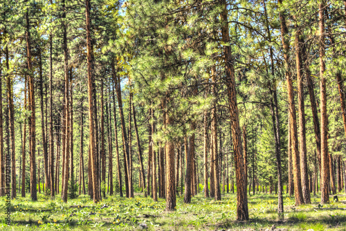 Fotobehang Berkenbos Flat dense red pine forest with thin tree trunks