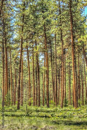 Plexiglas Berkenbos Vertical view of flat dense red pine forest with thin tree trunks