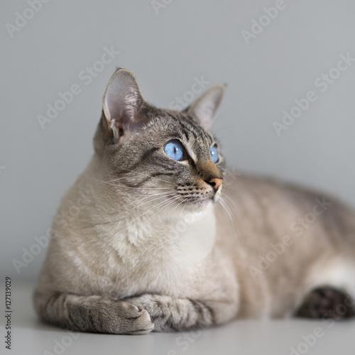 Poster Большой кот с голубыми глазами