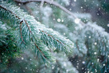 The frozen droplets of ice on pine needles.