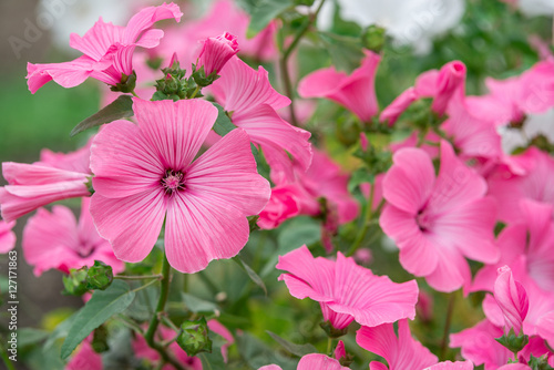 Papiers peints Rose banbon Flowers Lavatera trimestris
