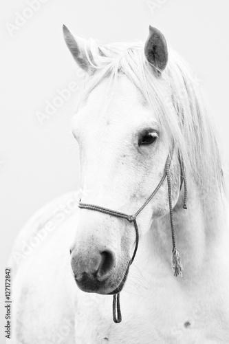 White horse - 127172842