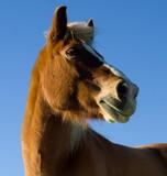 Horse Headhot