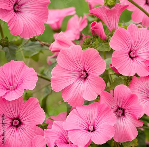 Plexiglas Candy roze Flowers Lavatera trimestris