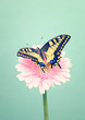 Colorful male tiger swallowtail butterfly on a daisy flower