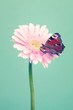 Beautiful red  butterfly on a  pink  flowers on trendy cool mint background
