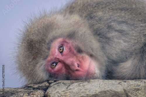 Poszter Jigokudani monkey park in Japan is the only place in the world where monkeys bath in hot springs