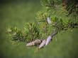 Jack pine branch