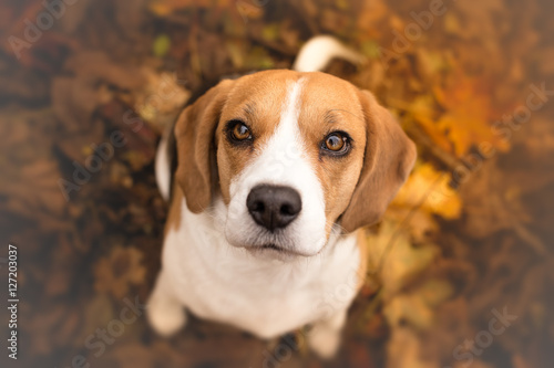 Poszter Cute beagle puppy dog looking up