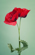 Two red poppy flower on a trendy green background