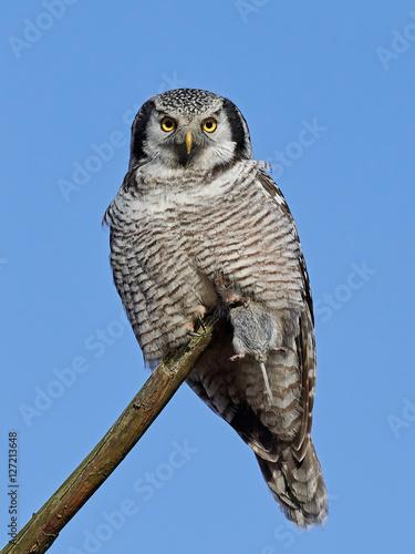 Poster Northern hawk-owl (Surnia ulula)