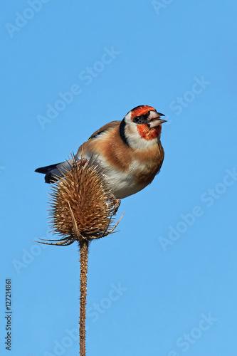 Poster European Goldfinch (Carduelis carduelis)