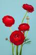 Arrangement of beautiful red ranunculus flowers