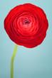 Vivid red ranunculus flower on blue background