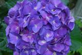Pretty Blue Flowering Hydrangea Blossom