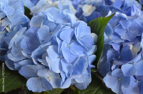 Fotobehang Hydrangea Light Blue Flowering Hydrangea Blossom