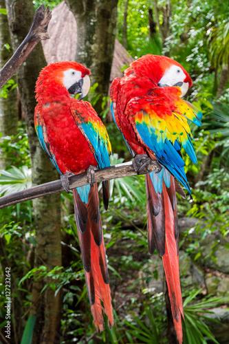 Poster Ara Papageienpaar auf einem Ast