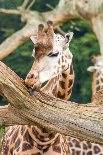 Plakát, Obraz Giraffe leckt an einem Baum