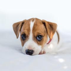 fototapeta mały Jack Russell Terrier