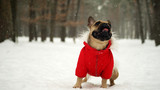 French bulldog in red jacket on the walk in winter forest