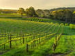 Late light hits a vineyard in spring