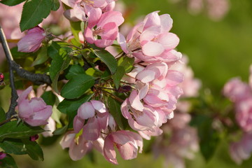 Blooming pink apple tree in spring