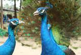 Indian peacock species