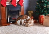 Cute beagle checks Christmas gifts in front of the fireplace in