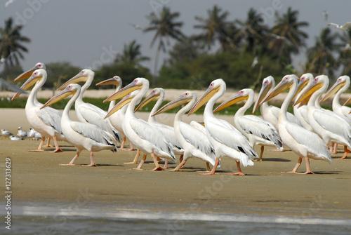 Poster Pelicans, Senegal, Grand Coast