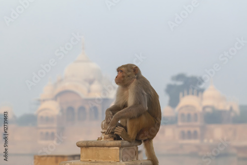 Poster, Tablou Indian temple  monkey