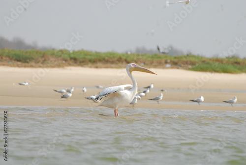 Poster Pelican, Senegal