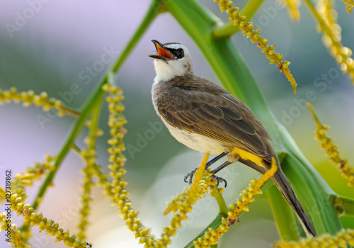 Poster Yellow-vented Bulbul
