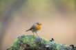 European Robin (Erithacus rubecula) perched on mossy branch in r