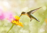 Dreamy image of a juvenile male Ruby-throated Hummingbird feeding on an orange Zinnia flower - 127325823