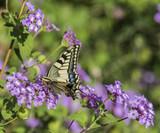 Scarce Swallowtail feeding on Purple Flower