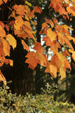 The Maples in autumn colors