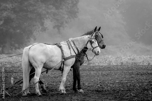 Poster black and white horse standing on a fresh plowed field, in black and white
