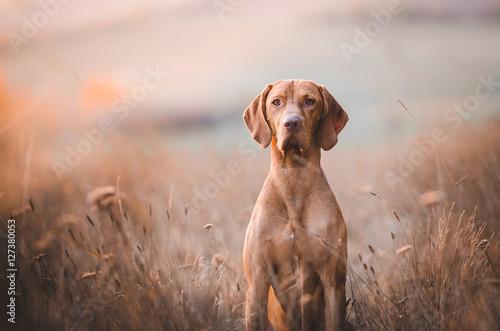 obraz lub plakat Hungarian pointer hound dog