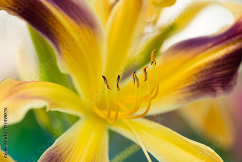 Poster Beautiful day-lily flower