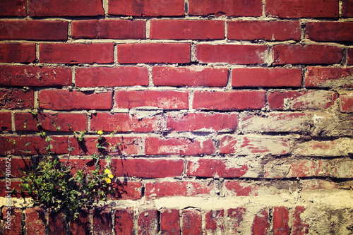 Poster Red brown brick wall with dandelion plant grow up on a corner, v